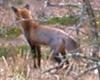 fox, sadly not eating a turkey